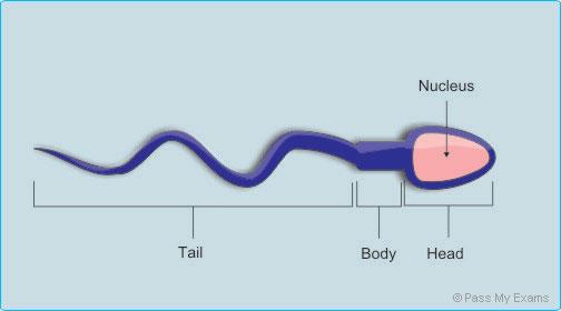 Infertilità maschile: movimenti non casuali